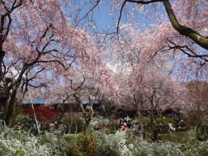 2013年4月 京都の桜