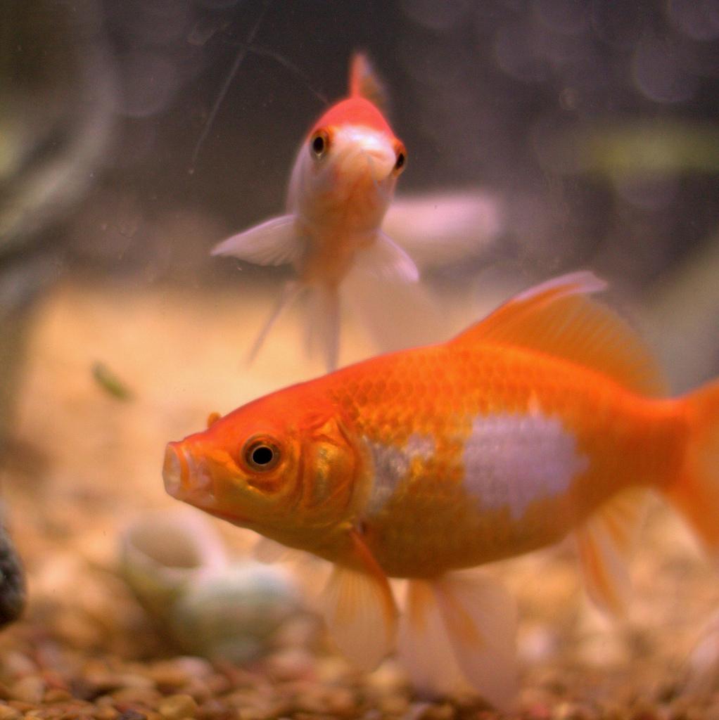 子供が屋台で金魚を捕ってきたら、こっちがアクアリウムにハマりだした