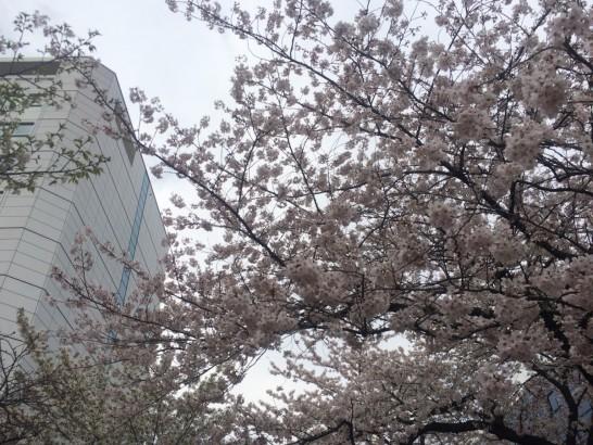 TRCの桜