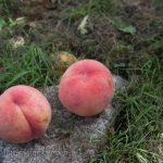 山梨 勝沼の桃