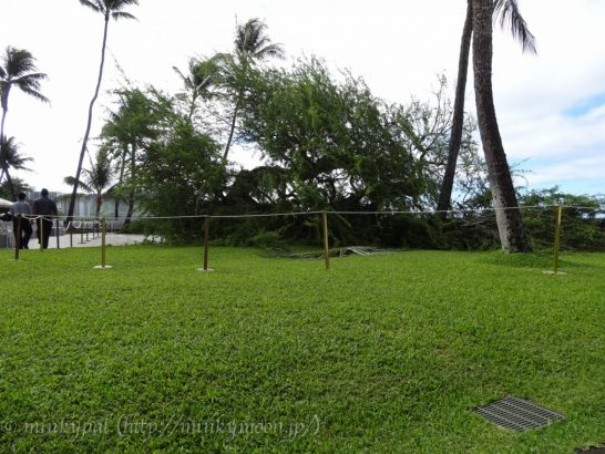 halekulani kiaweの樹が倒れた